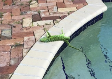 """El """"ciclón bomba"""" en EEUU está congelando a las iguanas de Florida, donde las temperaturas son de -10º."""