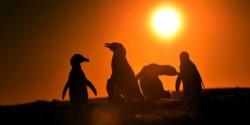 Más pingüinos. Las colonias de Península Valdés crecen a buen ritmo.