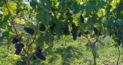 En la provincia hoy se cuentan más de 20 productores vitivinícolas en distintas etapadas de formación.