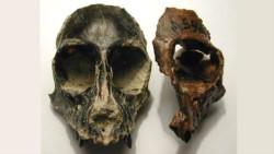 Dos cráneos de monos extintos . A la izquierda Killikaike y derecha Homunculus (ambos de la Formación Santa Cruz. Foto: gentileza Marcelo Tejedor