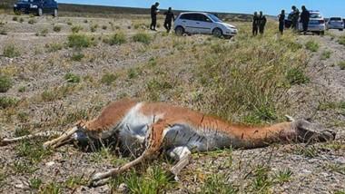 Choque. El conductor iba en sentido Trelew-Puerto Madryn cuando se le cruzó inesperadamente el animal.