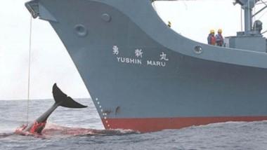 Brutalidad. Japón pretende retomar de manera abrupta la cacería de ballenas.