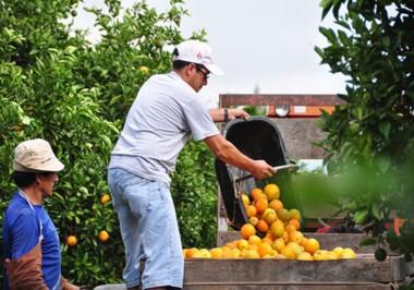 Cosecha de cítricos. Imagen gentileza del Programa Nacional de Frutales, del INTA.