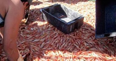 Producto estrella. La provincia se sigue posicionando en lo que refiere a la pesca de langostinos.