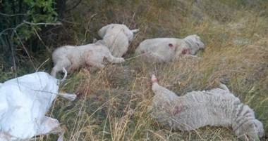 Las ovejas fueron encontradas muertas en un potrero entre el río Chubut y la traza de la ruta provincial 12.