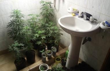 Materia prima. Así encontraron las plantas y plantines de cannabis sativa en el baño de la casa allanada.