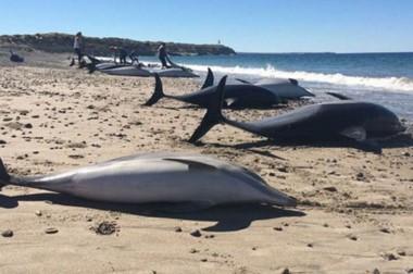 Muerte en la playa. Las especies mamíferas encontradas fueron 68. Fallecieron más de la mitad.