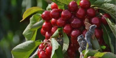Las cerezas ya se han convertido en un producto clásico de exportación de la Patagonia.