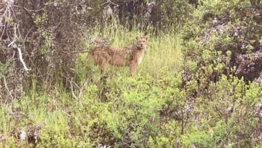Este es el puma que merodea los senderos del Bosque Llao Llao, fue filmado por un turista que alertó a las autoridades.