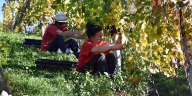 Uno de los viñedos abrirá sus puertas al turista, para enseñarle a cosechar y vivir una experiencia  única.