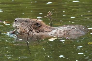 Los diques que los castores construyen en los ríos ayudan a atrapar toneladas de sedimentos suspendidos y contaminantes que fluyen en el agua.