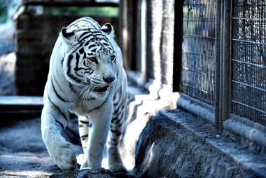 La tigresa sufría de insuficiencias renales y había comenzado con un cuadro de decaimiento y anorexia.