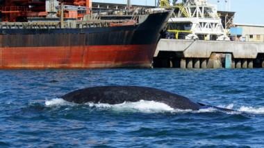 Un tema de estudio. La interacción de barcos y ballenas (foto gentileza Grupo de Ecofisiología Aplicada GEA CESIMAR-CONICET)