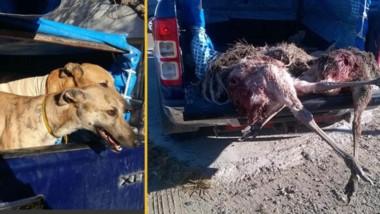 Los perros están entrenados para matar. El veterinario oficial corroboró cómo murieron los ñandúes.