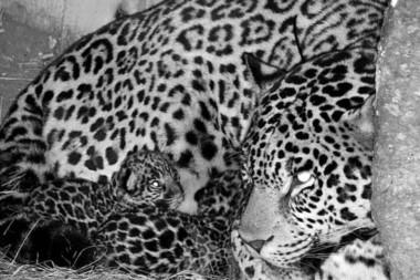 Imagen con visión nocturna de los dos cachorritos de yaguareté junto a su mamá. Quedan menos de 250 ejemplares en el país.