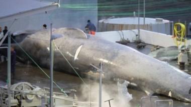 La imagen de un gran rorcual cazado en Islandia causó polémica a nivel mundial