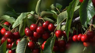 La cerezas frescas para exportar podrán tener sello premium