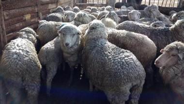 Las ovejas fueron incautadas y puestas a disposición de la Justicia.