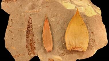 La descripción se basó en hojas y semillas fósiles encontradas en las cercanías de la localidad de Paso del Sapo.
