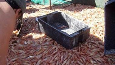 El langostino sigue siendo la estrella dentro la actividad pesquera.