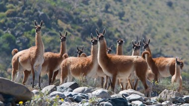 Encierre. La práctica en uno de los campos al límite de Santa Cruz para llevar a cabo la esquila y el aprovechamiento de la piel del animal que es considerado plaga en la provincia.