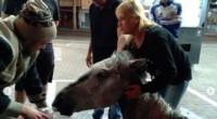 Los vecinos le dieron agua al pobre animal que se desplomó en la calle debido al maltrato. (La Voz)