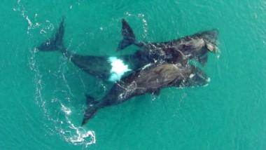 El censo arrojó números extraordinarios, batiendo récords desde que se relevan las ballenas en Península Valdés.