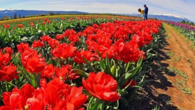 En octubre florecen los tulipanes y Trevelin se prepara para recibir a gran cantidad de turistas.