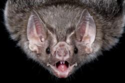 La rabia paralítica o paresiante es una enfermedad epidémica y recurrente causada por el virus rábico transmitido por el vampiro.