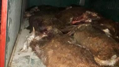 Así aparecieron las vacas, ya carneadas dentro del mismo camión que robaron en el campo afectado.