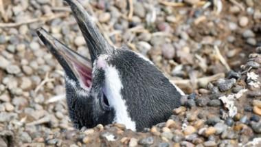 La imagen de los pingüinos de Punta Tombo llegó a todo el país