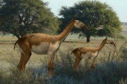 El macrauchenia perteneció a la megafauna de mamíferos extintos que convivieron con los primeros humanos hace 12.000 años.