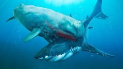 Representación artística de la lucha de una de estas superballenas contra un megalodón.