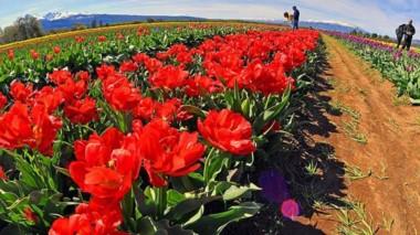 Paleta de colores. Las plantaciones de tulipanes constituyen un atractivo único de la cordillera chubutense.