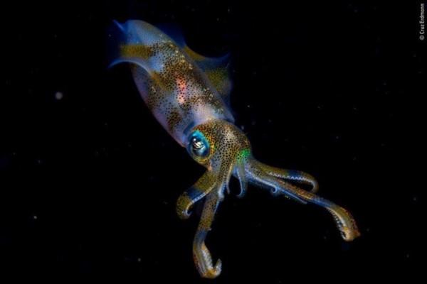 El ganador del gran premio junior (de 11 a 14 años) de 2019 fue Cruz Erdmann, de Nueva Zelanda, por su imagen nocturna de un calamar