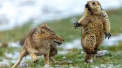 Una foto del encuentro entre un zorro y una marmota, que parece tomada exclusivamente para generar memes, ganó el premio a la mejor fotografía de vida silvestre.