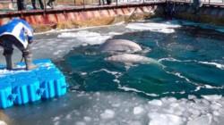 Rusia libera belugas en el mar de Ojotsk después de casi medio año de denuncias y la muerte de varios cetáceos.