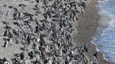 Una gran cantidad de turistas ya visitaron la reserva natural en Punta Tombo y se espera la llegada aún mayor de cara al comienzo de la temporada de verano.