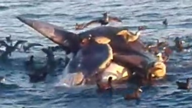 Al ser divisado desde un barco  de pesca, el cetáceo llevaba varias horas muerto y era comido por las aves.
