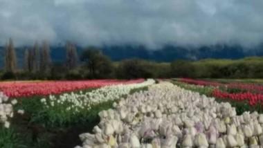 La familia Ledesma abre las puertas para que todos puedan disfrutar de los campos de tulipanes.
