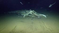 Pulpos gigantes devoran los restos de la ballena a más de 3.000 metros de profundidad.