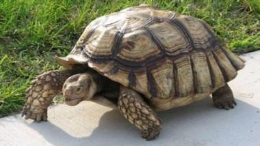 La tortuga argentina: Su comercialización y tenencia está prohibida.