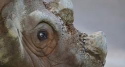 Con la muerte de este espécimen, una hembra de 25 años llamada Iman, el rinoceronte de Sumatra definitivamente ha desaparecido de Malasia.