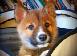 Un águila arrojó un cachorro en el patio de una mujer y resultó ser un dingo (una subespecie de lobo) casi extinto.