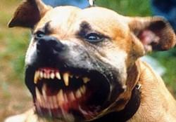 Un niño de 9 años murió tras sufrir un ataque de más de cuatro perros en la ciudad brasileña de San Pablo, de los que al menos uno era de la raza Pitbull. (Archivo)