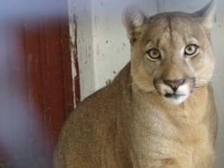 Un puma del ex zoo de Rawson fue trasladado a un en bioparque de Uruguay que posee 100 hectáreas.