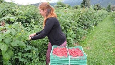 Se viene. En pocos días comenzará la Fiesta de la Fruta Fina, con alternativas para todos los gustos.