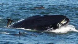 Momento en que la ballena se traga al buzo como le sucedió al personaje bíblico Jonás.