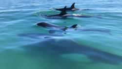 El grupo estaba integrado por varias orcas (foto @AleAlbaini)