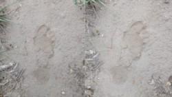 Huellas de la supuesta criatura que aterra a un pueblo de San Luis.